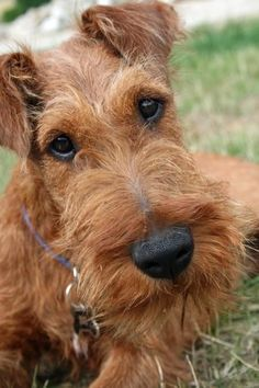 another view of the lovely Hugo the Irish Terrier! Welsh Terrier, Wire Fox Terrier, Airedale Terrier, Terrier Dogs, Terriers, All Dogs, I Love Dogs, Cute Dogs, Dogs And Puppies