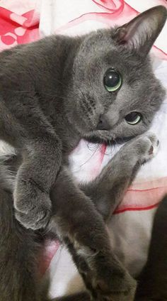 russian blue cat Super Ideas For Cats Russian - cat Cute Cats And Kittens, I Love Cats, Cool Cats, Kittens Cutest, Grey Kitten, Grey Cats, Russian Blue Kitten, Gato Grande, Gatos Cats