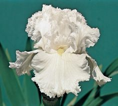 """Laced Cotton - This heavily laced white Iris is immaculately clean and yet so daintily ruffled, like exquisite Belgian lace. The huge 6"""" flowers actually h..."""