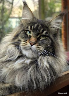 Mefisto 16 m. old ©Shedoros Maine Coon Cattery http://www.mainecoonguide.com/male-vs-female-maine-coons/