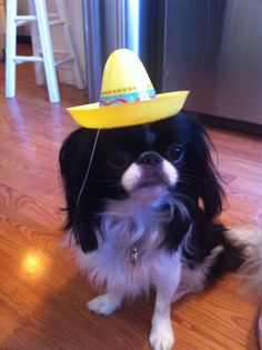I am a JAPANESE chin dog! I am not Mexican !
