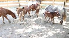 Video about Pony with cubs at shade in paddock. Video of graze, family, little - 77398160 Cubs, Pony, Horses, Stock Photos, Animals, Pony Horse, Animales, Bear Cubs, Animaux