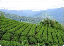 Dong Ding Tea Garden