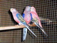Bourke Parakeet Mutations | wild bourkes and rosa bourke