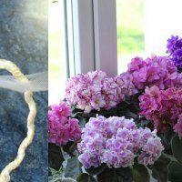 Благодаря особому методу полива мои фиалки цветут целый год! Узнай секрет здесь..