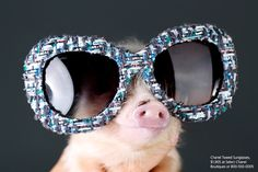 Two Teacup Piglets Model Fall's Best Accessories - Photos of Piglets Wearing Accossories - Elle