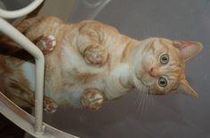 19 photos de chats allongés sur des tables en verre ! Les images sont juste excellentes !