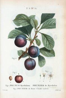 Fig. 1. Prunus Myrobalana = Prunier de Myrobolan. Fig. 2. Prunier de Reme-Claude violette. [Myrobalan plum] - Pierre Joseph Redouté (Belgian, 1759-1840)
