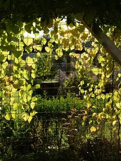 Autumn in the garden and our Dutchman's pipe (Aristolochia macrophylla) is turning yellow. Møll, October 6th 2012