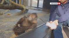 Orang utan sees a magic trick. Funniest Reaction at Barcelona Zoo. Magic Tricks Videos, Easy Magic Tricks, Baby Orangutan, Chimpanzee, How To Do Magic, Funny Animals, Cute Animals, Animals Amazing, Funny Pets
