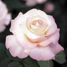 For Large Pink and White Blooms, Buy Crescendo® Hybrid Tea Rose ? available at Jackson & Perkins! Fragrant Roses, Shrub Roses, Beautiful Roses, Beautiful Flowers, Exotic Flowers, Simply Beautiful, Bed Of Roses, Ronsard Rose, Music Garden