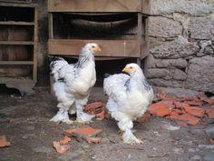 casalinho de galinhas brahma light