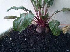 Como Plantar Beterraba , incio,meio,fim da semente ate colheita