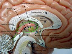 central+nervous+system+labeled+models | Nervous System and Special Senses