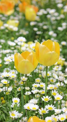 Field of flowers daisy and two yellow tulips garden spring time season photo art iPhone wallpaper background Wild Flowers, Beautiful Flowers, Field Of Flowers, Spring Flowers Images, Spring Pictures, Yellow Tulips, Orange Flowers, Yellow Spring Flowers, Spring Blooms