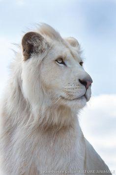 Portrait de Timba (de l'Association Caresse de tigre) lion blanc âgé de 2 ans. Comme tous les autres fauves de cette association située en Normandie, Timba est né en captivité.