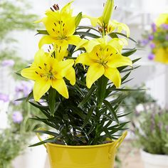 Patio Lily Lemon Pixie with Yellow Metal Planter and Growers Pot