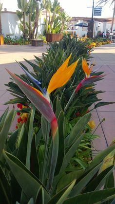 Estrelítzia    Nome Científico: Strelitzia reginae   Nomes Populares: Ave do paraíso, flor da rainha ou estrelitzia   Origem: Áfric...
