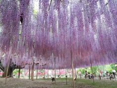 藤の絶景「河内藤園」(福岡県北九州市)