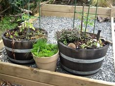Plant your tomatoes in barrels.