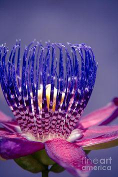 Passiflora Alata - Ruby Star - Ouvaca - Fragrant Granadilla -  Winged-stem Passion Flower Photograph