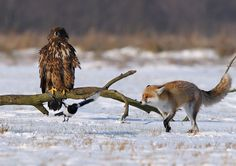 An eagle, a fox, and a magpie all in one photo. I'm in animal love overload.