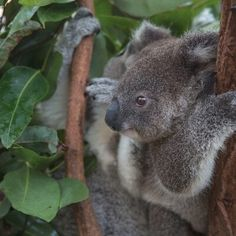 A #Baby #Koala clinging tightly to a #tree branch