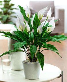 peace lily plant - low light, low maintenance & excellent air purifier
