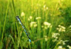 blue dragonfly by linadi on DeviantArt