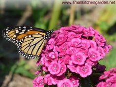 Monarch butterfly on dianthus blossoms