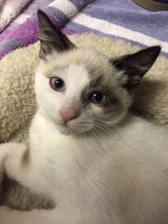 Llly is an adoptable American Shorthair searching for a forever family near Gaithersburg, MD. Use Petfinder to find adoptable pets in your area.