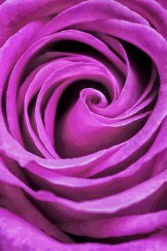 Purple rose-----purple is my favorite color. The Purple, All Things Purple, Bright Purple, Purple Rain, Shades Of Purple, Magenta, Pastel Purple, My Flower, Pretty Flowers