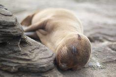Sleepy Sea Lion pup ..