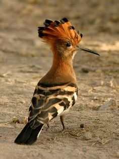The hoopoe is a striking bird that is found across Afro-Eurasia; photographed here in South Africa. Also the State Bird of Israel.