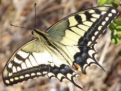 flying swallowtail