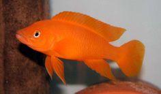 Lemon Cichlid (Neolamprologus leleupi) (Orange) 4.5cm http://marinefishdirect.com.au/freshwater-fish/african-cichlid-tanganyika/lemon-cichlid-neolamprologus-leleupi-orange-4-5cm.html