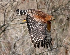 Red-shouldered Hawk - Several live in the neighborhood. Noisy hawks - makes repeated cries.