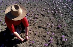 Harvesting the crocus Friend Of God, Small Purple Flowers, Visit Greece, Nature Beach, Flower Names, Greece Islands, Together We Can, Golden Color, Late Summer
