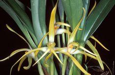 Maxillaria gentryi