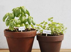 This plant is undemanding when it comes to soil, but it needs a lot of sunlight, so it's better to put the pots in the sunniest spots. You should deepen the seeds in the soil at about 0.5 cm. Oregano needs watering 3-4 times a day when it's young, and a mature plant should be watered every other day.