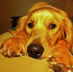 Bailey the Golden Retriever Pictures 937342