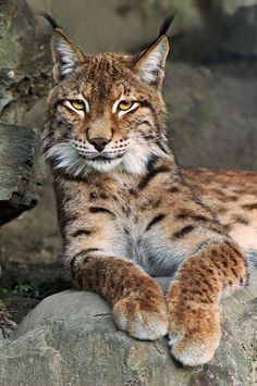 Beatiful spotted Eurasian Lynx / Photograph Wild Nature (Lynx) by Aleksandar Vasic on 500px