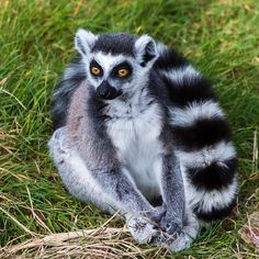 Square crop of a ring-tailed lemur.  Enjoy my other images of nature in full size by clicking on the thumbnail.  They are also available to buy in a variety for formats or as a digital download without the watermark. #ringtailedlemur