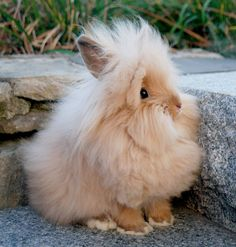 Lionhead bunnies are so little and cute