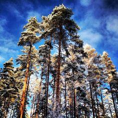 Majestic pinetrees in freezing cold January noon. #pine #pinussylvestris #mänty #petäjä #bluesky #sinitaivas #cloud #pilvi #mikkeli