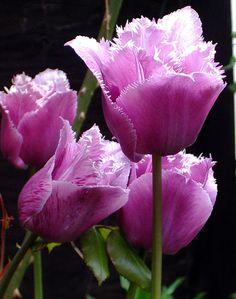 Purple Fringe Tulips