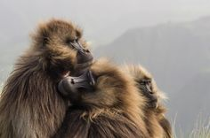Gelada baboons huddle together for warmth in this National Geographic Your Shot Photo of the Day.