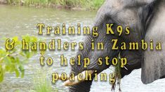 K9s and handler training in Zambia for the war on poaching