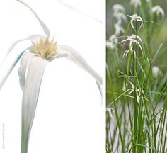 Luzula nivea - Schneemarbel Gras - Google-Suche