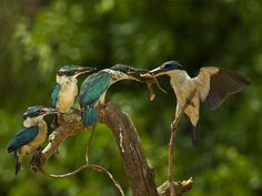 """""""Hmm...I like frog.."""", Blue-and-white Kingfisher (Todiramphus diops)... and Frog. :)  by Sijanto Nature (yanen31)"""